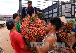 Vải thiều Bắc Giang giá ổn định 35.000 - 45.000 đồng/kg