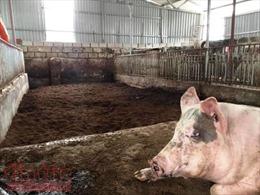Chăn nuôi tiếp tục khốn khó vì 'cơn bão' giảm giá