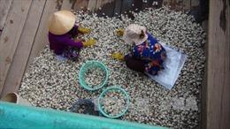 Trúng đậm mùa nghêu, nông dân Trà Vinh thu lãi lớn