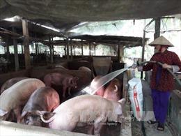 Giá lợn hơi ở Tiền Giang tăng mạnh