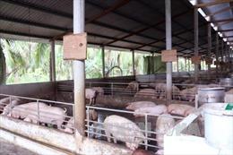 Bến Tre: Giá lợn con leo thang sau khi giá lợn thịt tăng đột biến