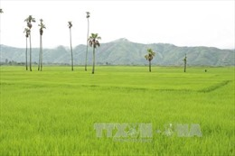 Đắk Lắk hình thành vùng chuyên canh lúa ổn định