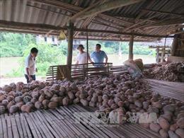 Hàng trăm hộ dân ở Thái Nguyên lao đao vì bí đỏ mất mùa, trượt giá