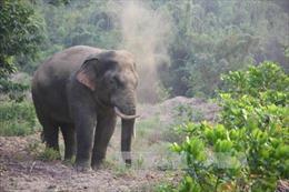 Một người bị chấn thương nặng nghi do voi rừng quật