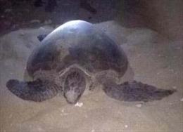 Rùa biển quý hiếm nặng 70 kg mắc lưới ngư dân
