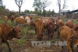 Hỗ trợ xây dựng mô hình chăn nuôi bò cho các hộ di dân, định canh, định cư