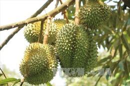 Tiền Giang phát triển mạnh vườn chuyên canh cây ăn quả đặc sản