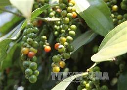 Thị trường nông sản tuần qua: Giá tiêu vượt mốc 70.000 đồng/kg