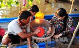 An Giang cấm khai thác cá linh non