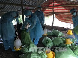 Xuất hiện ổ dịch cúm gia cầm tại Bạc Liêu