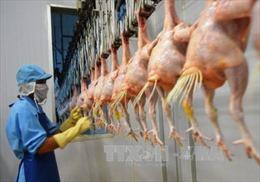 Cơ hội xuất khẩu thịt gà sang EU