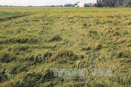 Lúa Hè Thu ở Ninh Thuận mất mùa, mất giá