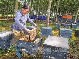 Đắk Lắk nâng cao năng suất, chất lượng mật ong