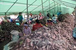 Khoai lang giảm giá, nông dân Hòn Đất thua lỗ nặng
