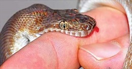 Mùa mưa lũ, bệnh nhân bị rắn độc cắn tăng mạnh