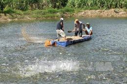 Giá cá tra nguyên liệu tăng mạnh