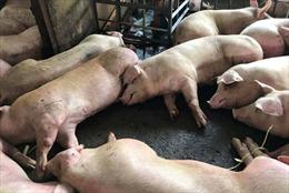 Rất khó phát hiện tồn dư thuốc an thần trong thịt lợn