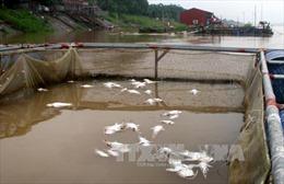 Thừa Thiên - Huế: Cá chết hàng loạt trên sông Đại Giang do thiếu oxy, nhiều khí độc
