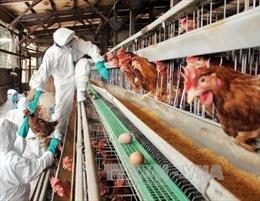 Nhật Bản lai tạo thành công gà đẻ trứng chữa bệnh