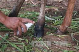 Hà Tĩnh: Hàng chục con bò của Chương trình 30a bị lở mồm long móng