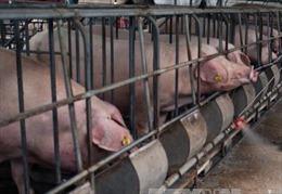 Cần cắm biển báo, hạn chế ra vào ổ dịch tả lợn tại Đông Triều, Quảng Ninh
