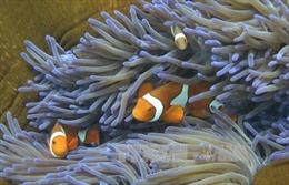 Biến đổi khí hậu: Số phận phụ thuộc của các rạn san hô