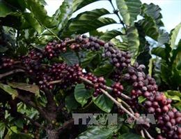 Cà phê được mùa, được giá, vẫn lo