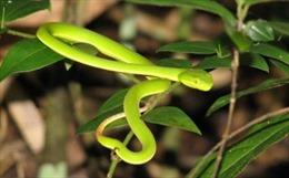 TP Hồ Chí Minh: Nhiều trường hợp bị rắn lục đuôi đỏ cắn nhập viện