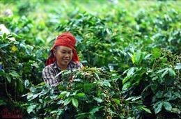 Phát triển thương hiệu cà phê Mường Ảng trên vùng cao Tây Bắc