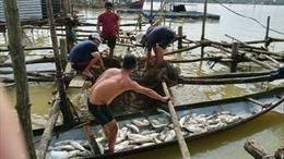Lũ về quá nhanh, cá lồng nuôi ở Thừa Thiên - Huế chết hàng loạt