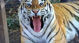 Hổ gánh xiếc xổng chuồng lúc biểu diễn, tấn công khán giả nhí