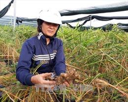 Nhiều hộ dân trồng gừng ở Ninh Thuận có nguy cơ trắng tay