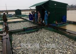 Cá lồng ở Thừa Thiên - Huế chết hàng loạt do nước bị ngọt hóa