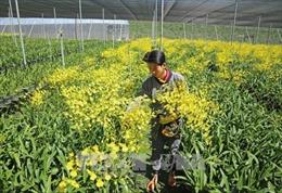 Bội thu nhờ trồng lan vũ nữ xuất khẩu