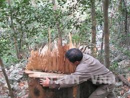 Cây gỗ nghiến tiếp tục bị hạ tại Vườn quốc gia Ba Bể