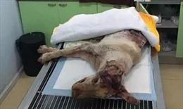 Chú chó bị đâm 30 nhát vào đầu nằm thoi thóp bên thùng rác