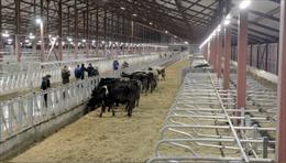 Tập đoàn sữa TH True Milk đón đoàn bò sữa đầu tiên về trang trại ở tỉnh Moskva