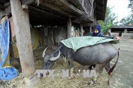 Các địa phương tập trung phòng chống rét cho cây trồng, vật nuôi