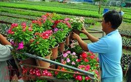 Ngàn hoa chớm nụ, khoe sắc trên cánh đồng hoa Tết