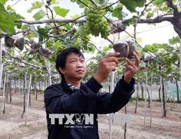 Dán 'tem điện tử thông minh' cho nho Ninh Thuận