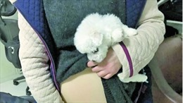 Cô gái trẻ giả bầu, giấu chó con mang lên máy bay