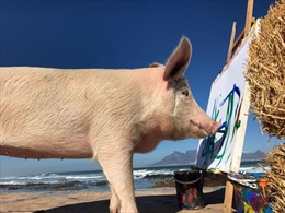 Được cứu từ lò mổ, chú lợn trở thành họa sĩ