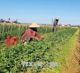 Nông dân Thừa Thiên-Huế tất bật chuẩn bị hoa Tết