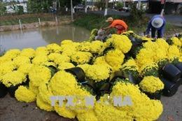 Cúc mâm xôi nở sớm, người trồng hoa thất thu