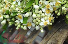 Hương hoa bưởi nồng nàn khắp đường phố Hà Nội