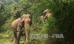 Bảo vệ 2 con voi rừng xuất hiện ở Quỳ Châu, Nghệ An