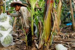 Câu chuyện ẩn sâu trong những đồn điền chuối của Trung Quốc tại Lào