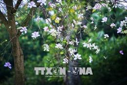 Điện Biên trồng hơn 2.000 cây hoa Ban trên đồi Độc Lập