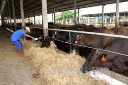 Giá bò hơi giảm mạnh, nông dân Trà Vinh lỗ nặng