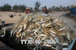 Ngư dân kiếm tiền triệu mỗi ngày nhờ trúng vụ cá trích